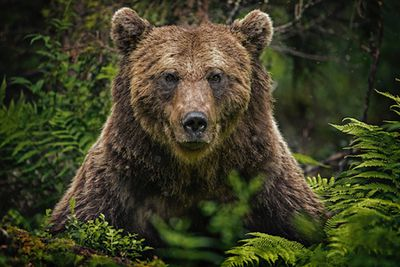 A beautiful bear looking at from the woods.
