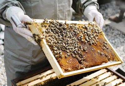 beekeper inspecting his hives in his garden, bees on honeycomb