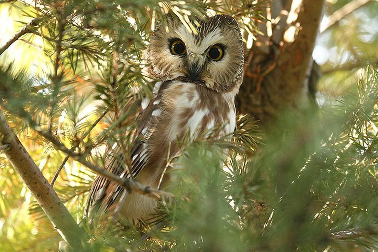 Go owling and you might find the tiny northern saw-whet owl