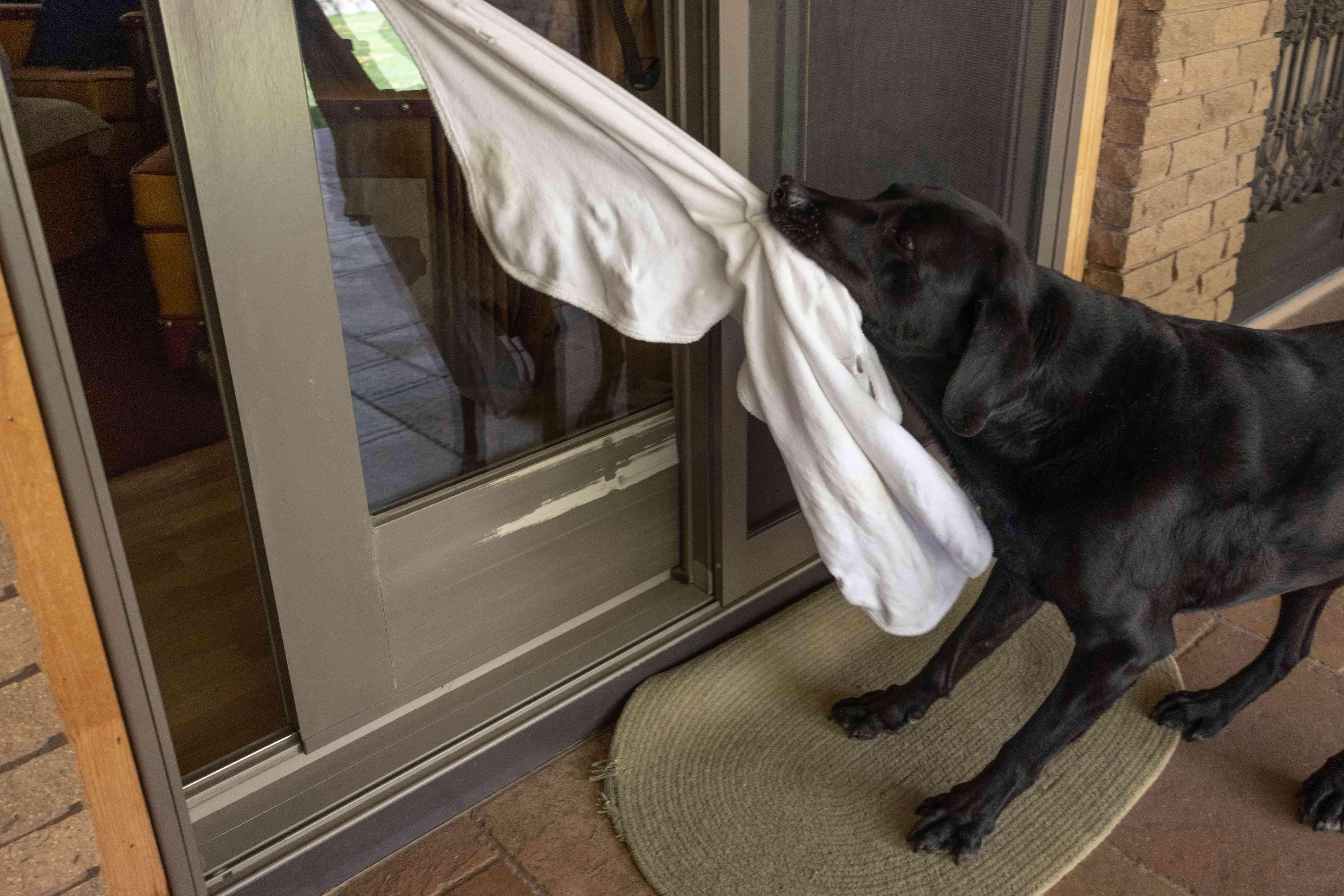 black dog uses white towel to