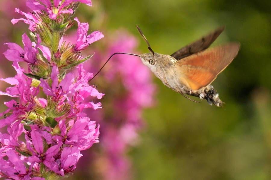 hovering hummingbird hawk-moth with orange wings feeding from pink flowers