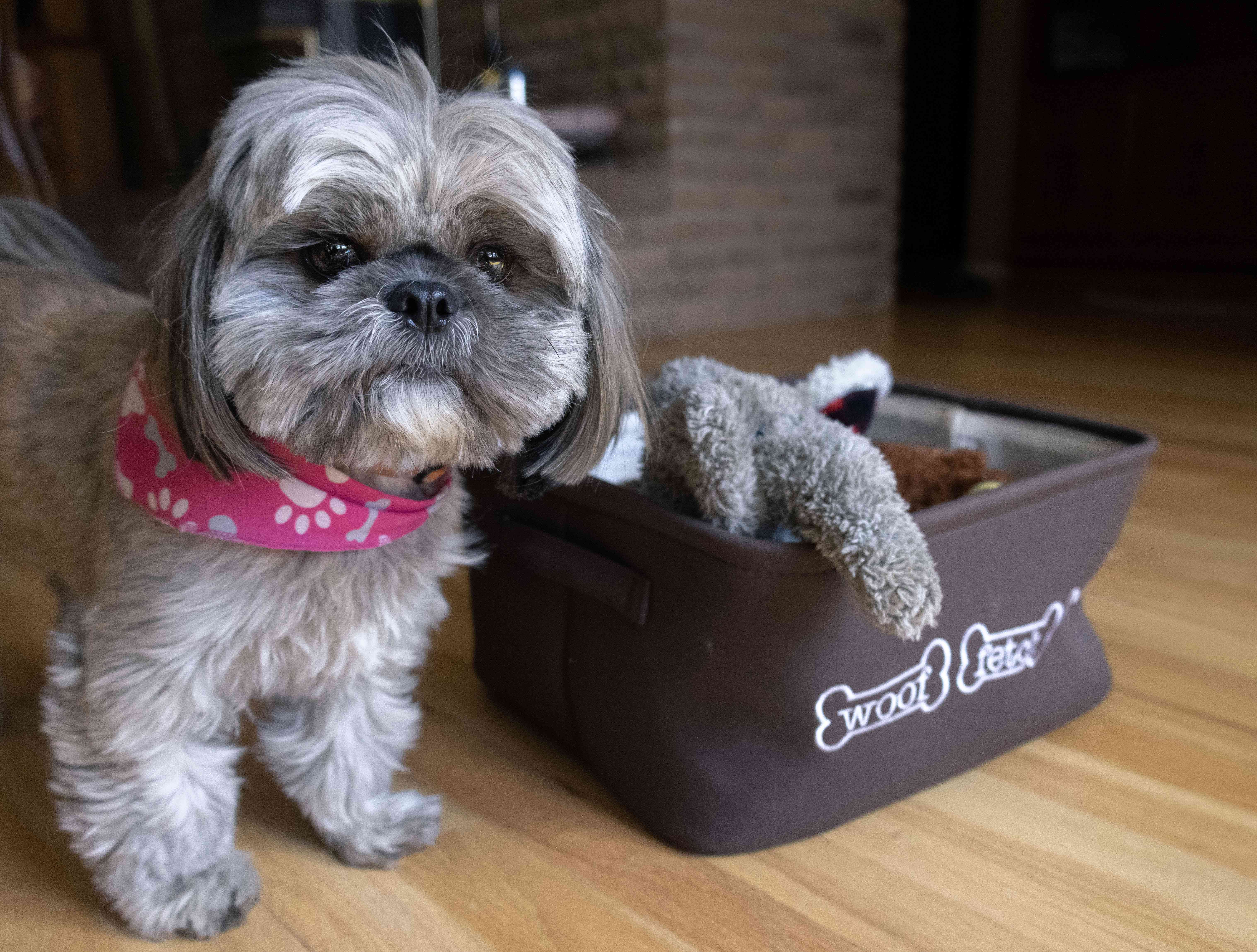 gray and white shih tzu-mix small dog stands next to fabric bucket of dog toys