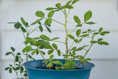 a small peanut plant grows in blue pot outside