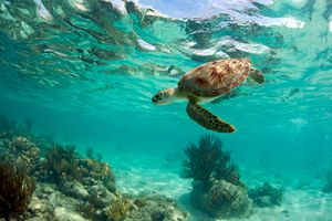 An endangered green sea turtle off the coast of Mexico.