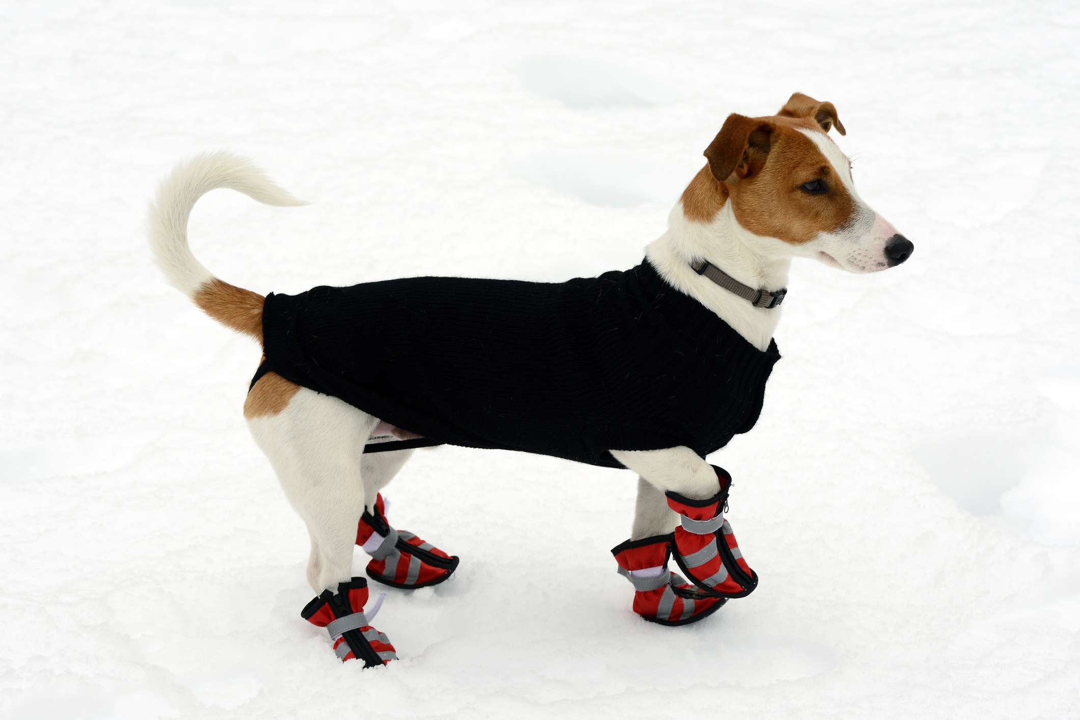 Dog wearing booties and a sweater in the snow