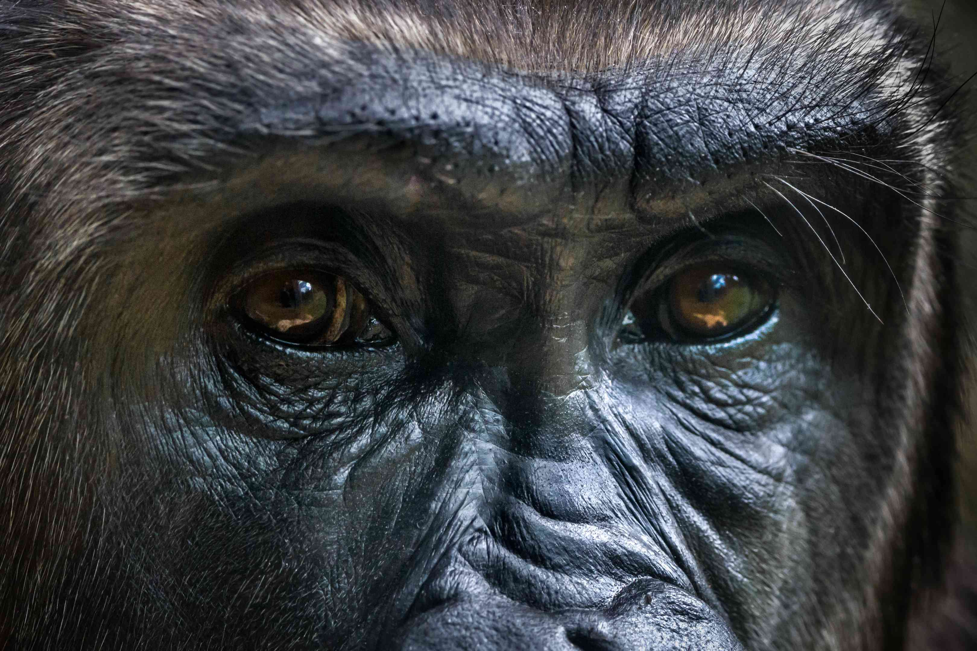 A close up of Gorilla eyes.