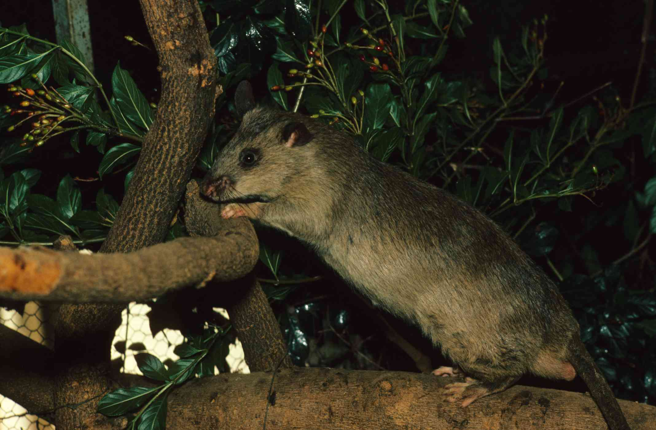 An outstretched African giant pouched rat perched on a tree branch surrounded by green leaves.