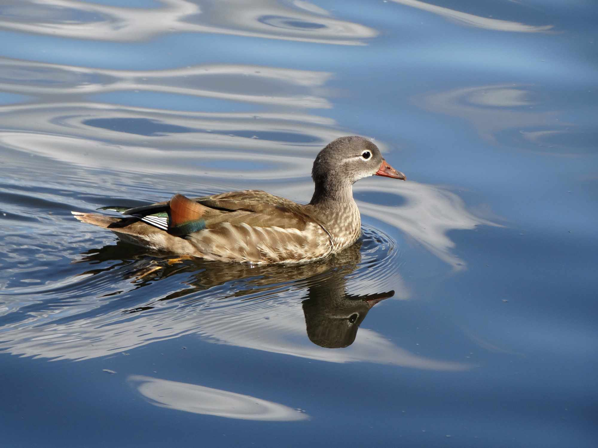 side view of mandarin duck in eclipse plumage swimming with head reflected in water