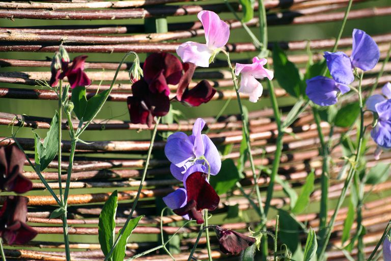 Sweet peas climbing up a trellis made of twigs