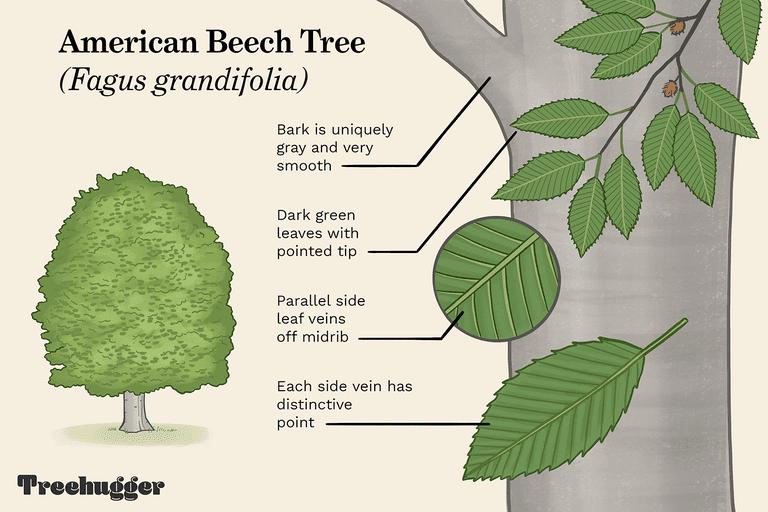 american beech tree identification illo