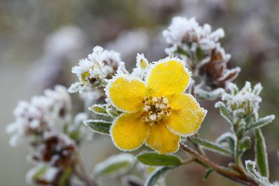 Frosted tundra rose