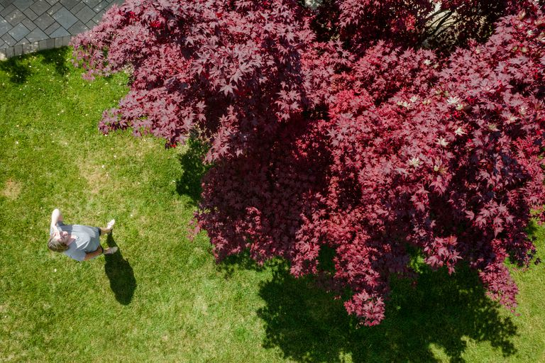 birds' eye view of large Japanese Maple in front yard while person admires