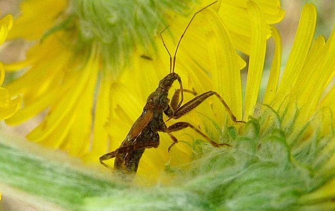 A damsel bug crawls through flowers