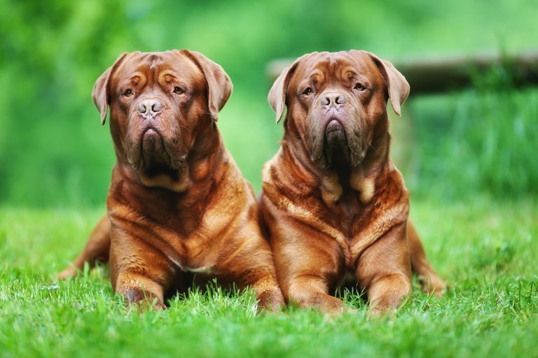 Two Bordeauxdogs sit in the grass