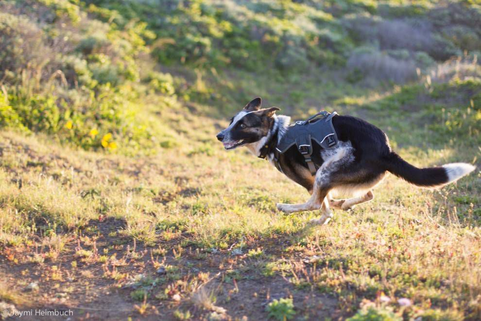 dog running with harness