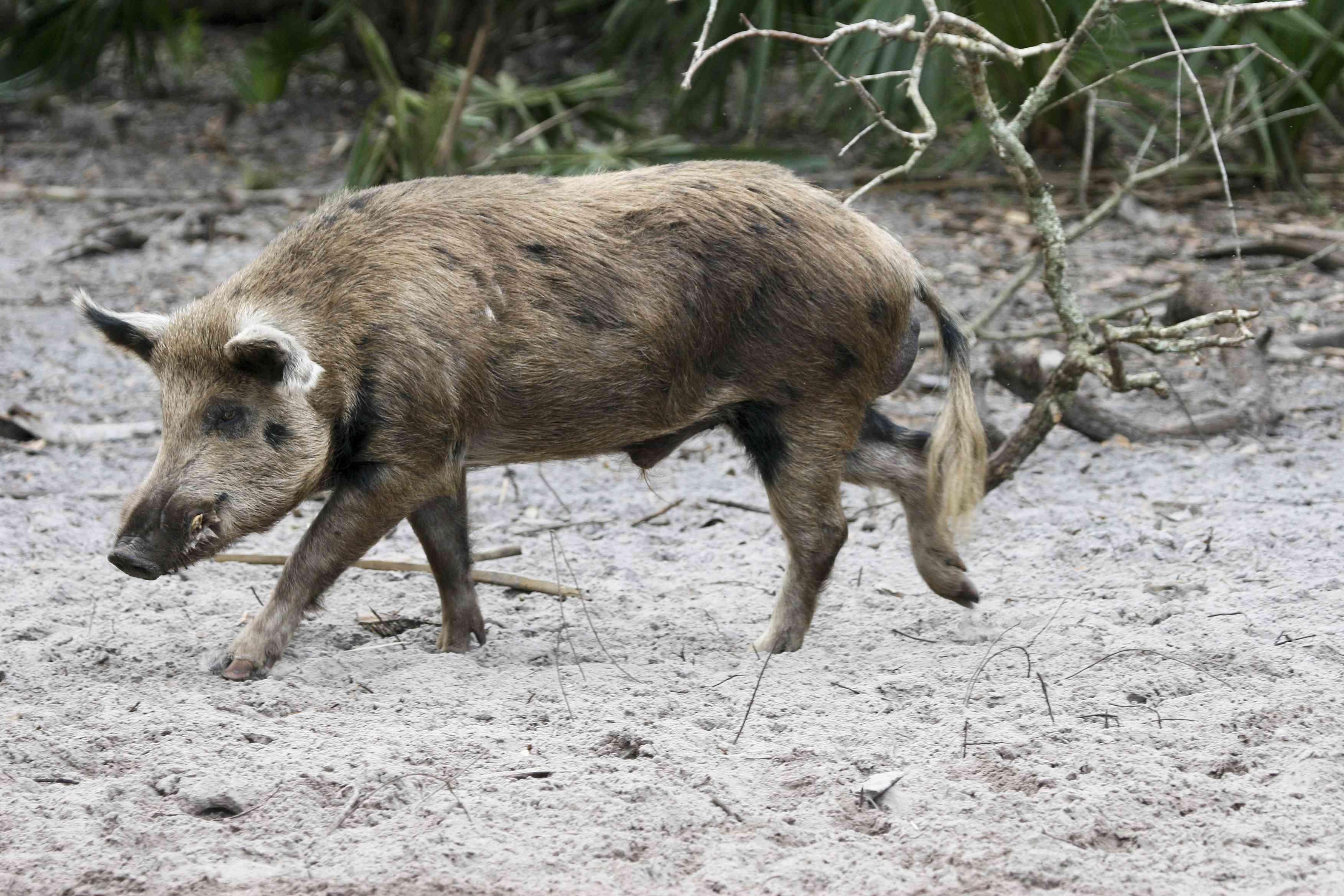 profile of tan and gray hog walking along beach