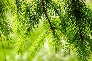 closeup fir trees branches