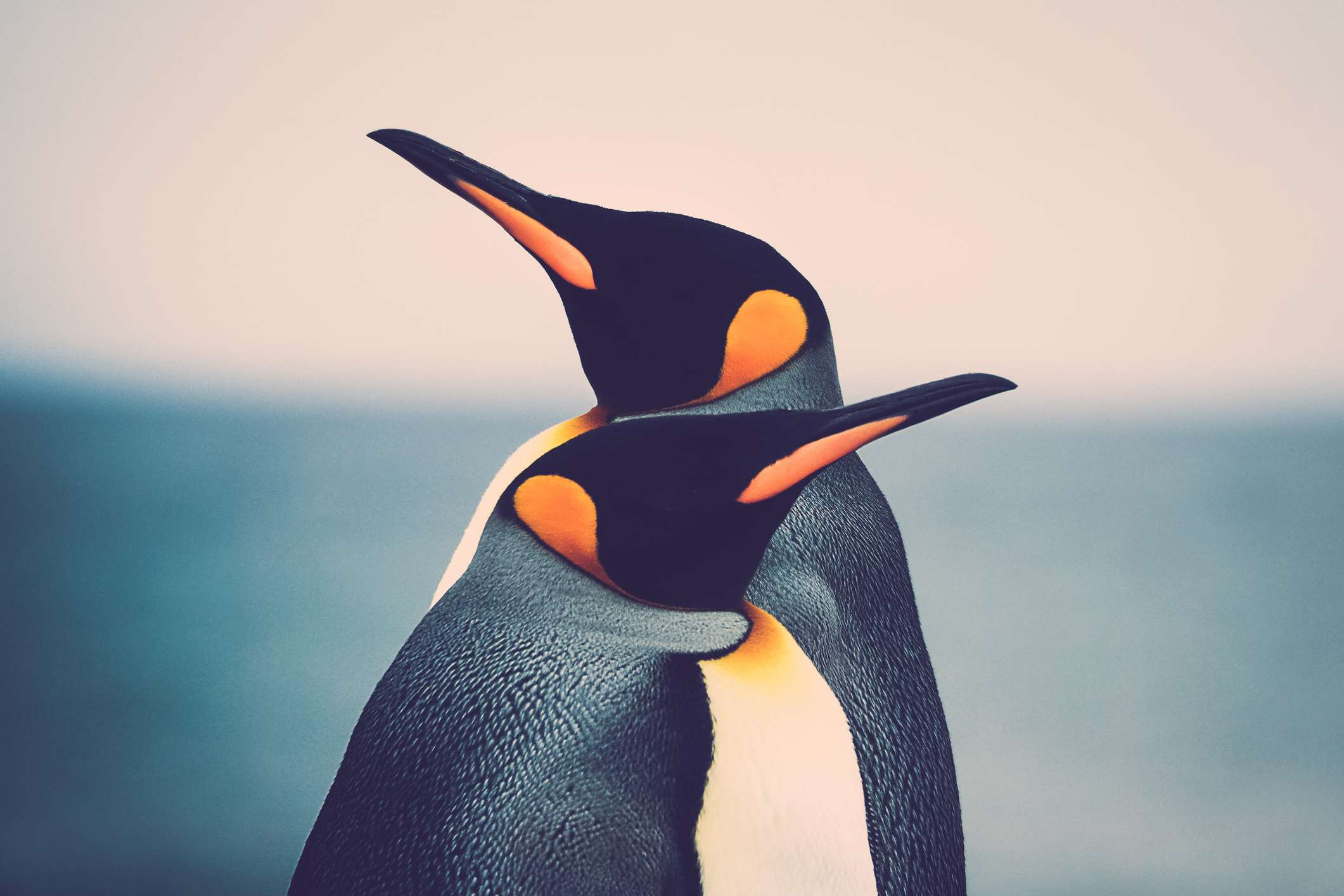 King Penguin couple (Aptenodytes patagonicus) standing in front of each other