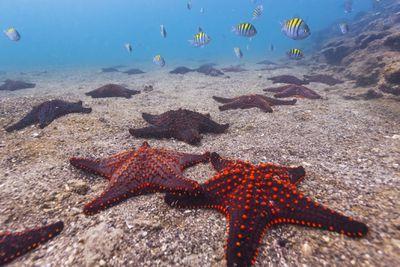 Sea star off the Galapagos Islands, Ecuador