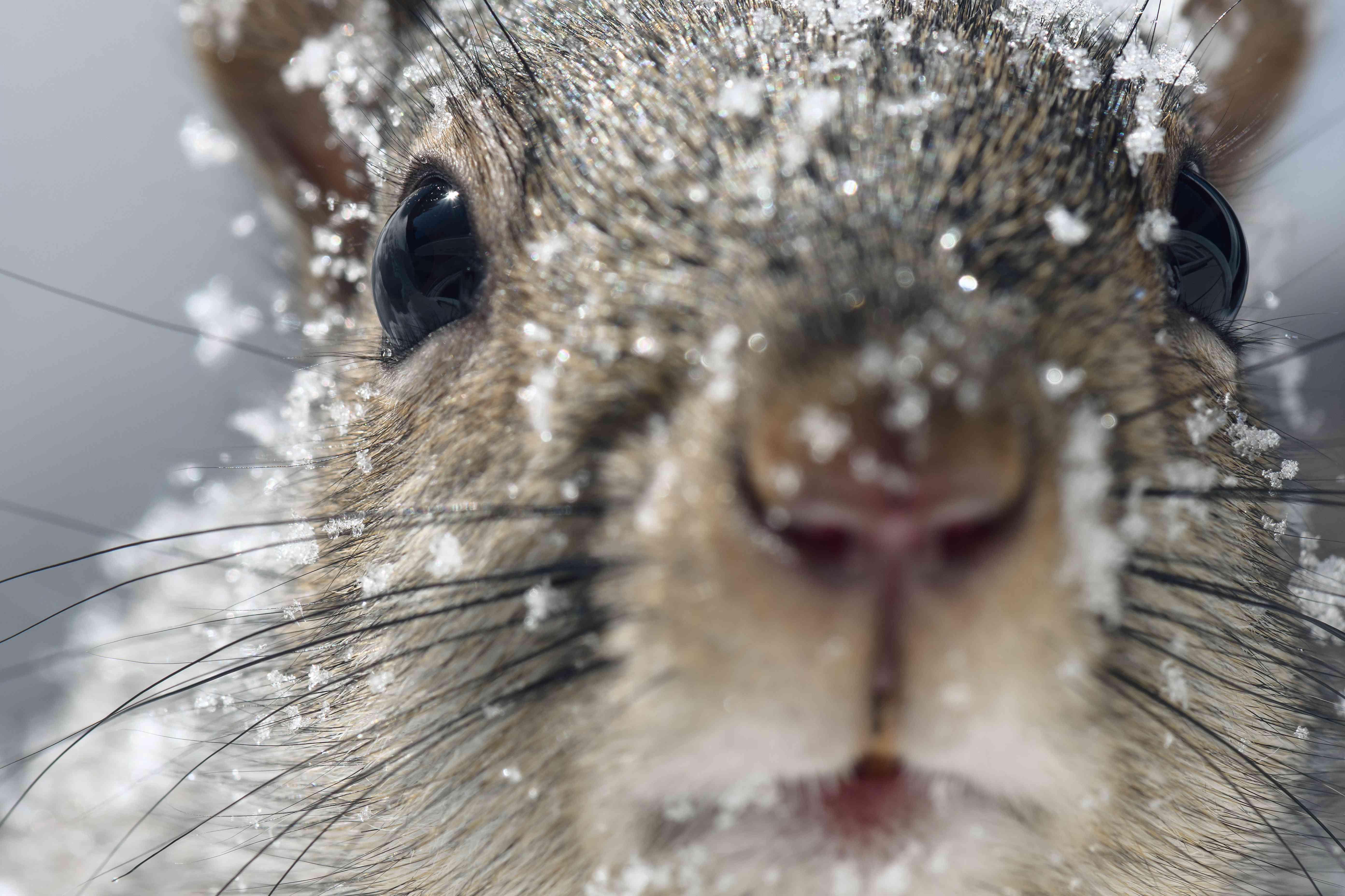 eastern gray squirrel closeup in winter