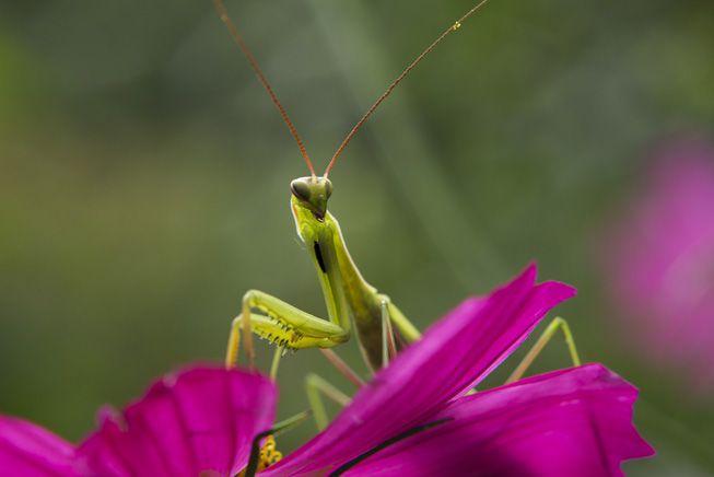 A praying mantis sits on a purple flower
