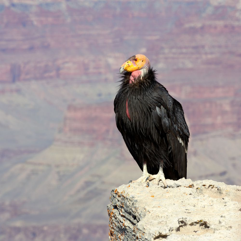 The California condor has become a poster species for endangered species conservation and the fight against extinction.