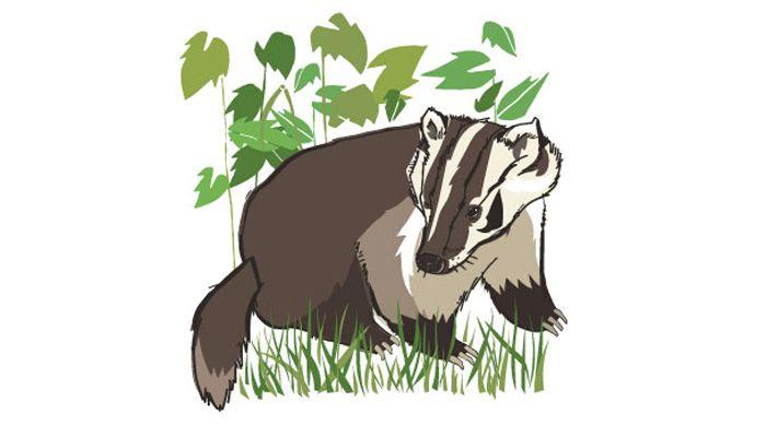 An illustration of a badger