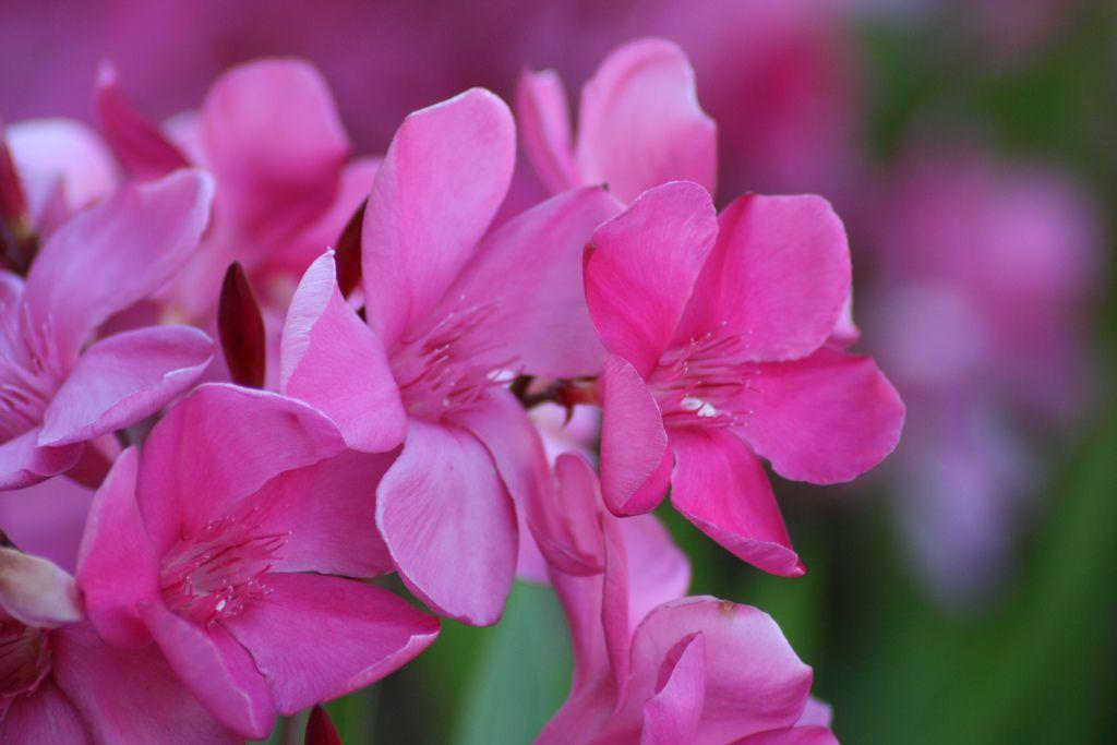 Oleander flowers close up