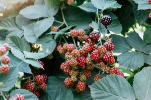 Beautiful branch of blackberry growing in the garden, close-up. Summer background.