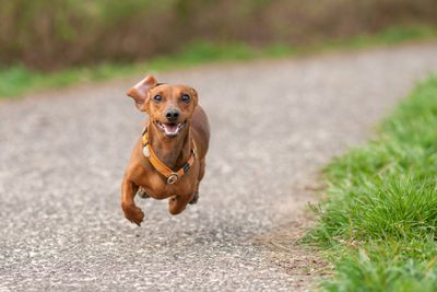 brown dachshund in mid-air, running head-on on path