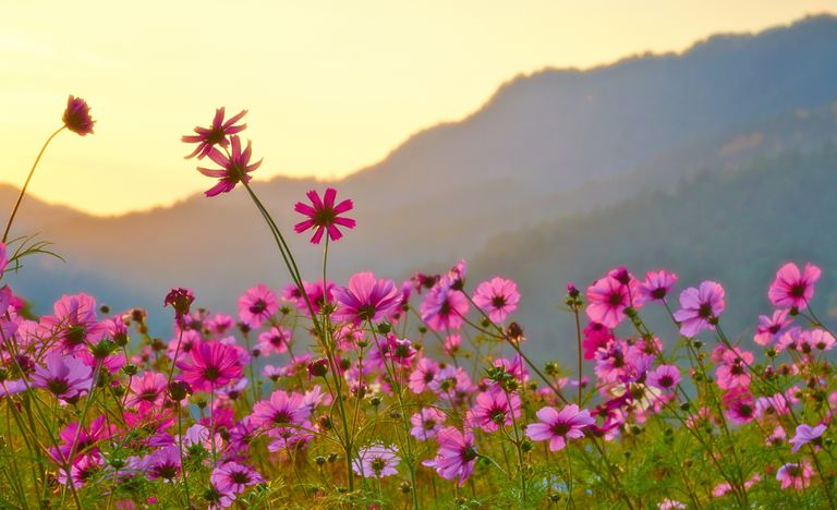 A flowering grassland glows at sunset in the countryside of Ōhara, Kyoto, Japan.