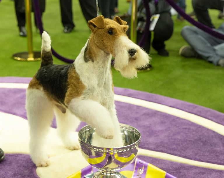 Wire fox terrier named King won Best in show during 143rd Westminster Kennel Club Dog Show at Medison Square Garden