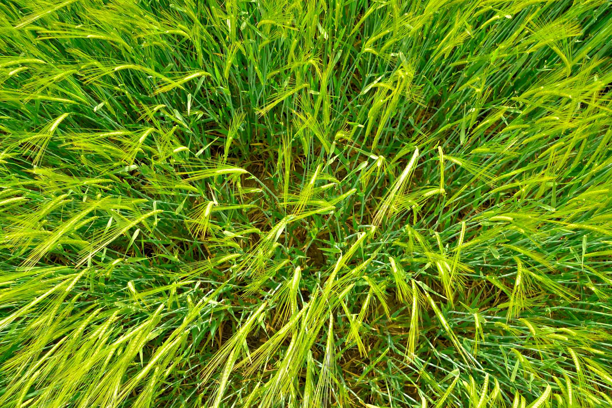 An overhead view of a patch of bright green wheatgrass