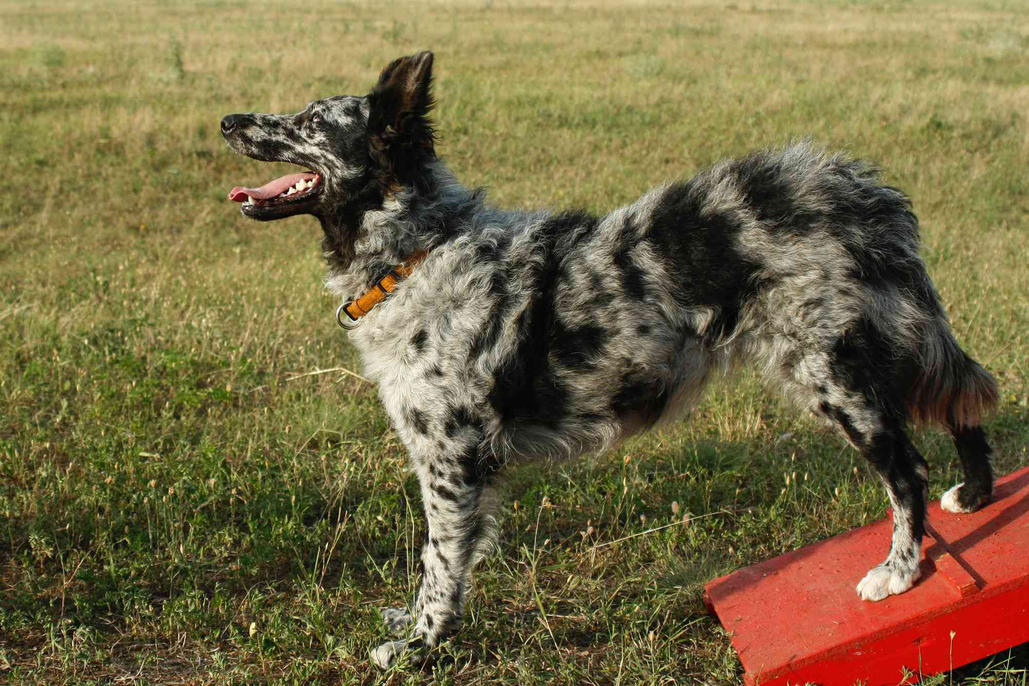 black and gray mottled mudi dog stands at attention on agility course