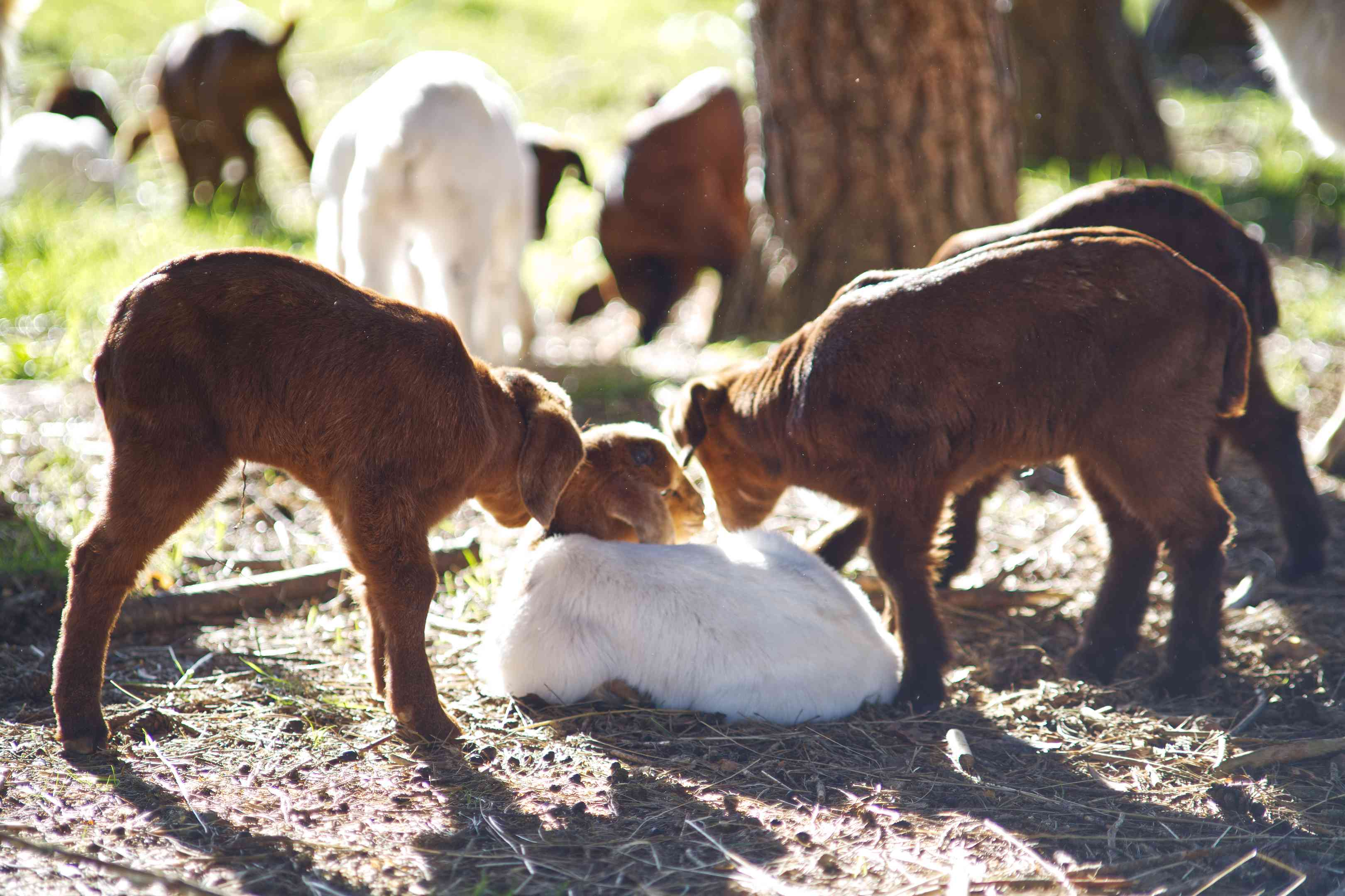 group of baby goats outside, with two baby goats smelling a sibling in grass