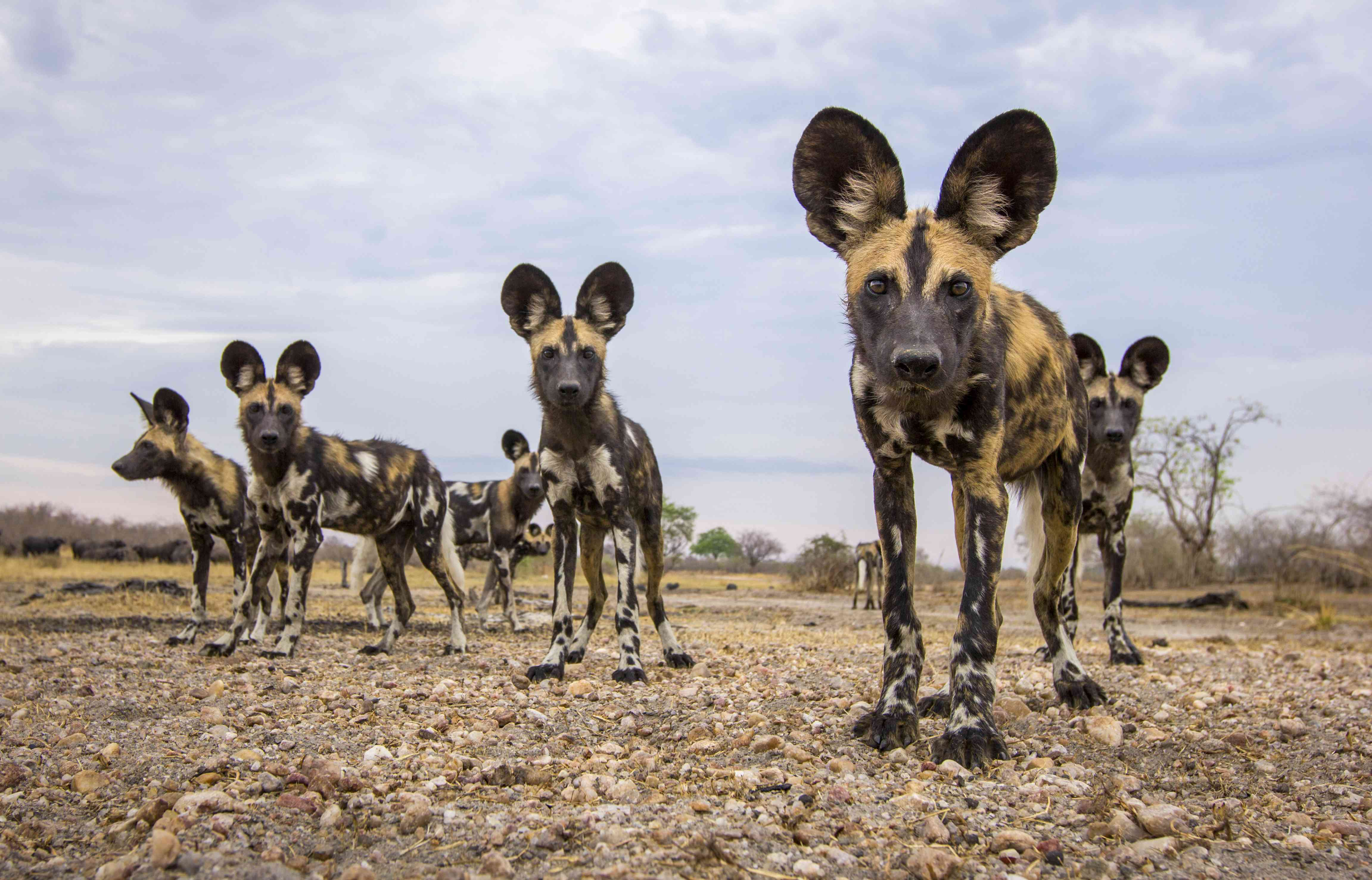 African wild dogs photographed by BeetleCam