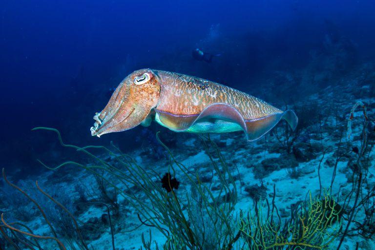 ¿Cómo los calamares cambian de color tan rápido? La respuesta es mucho más extraña de lo que esperabas
