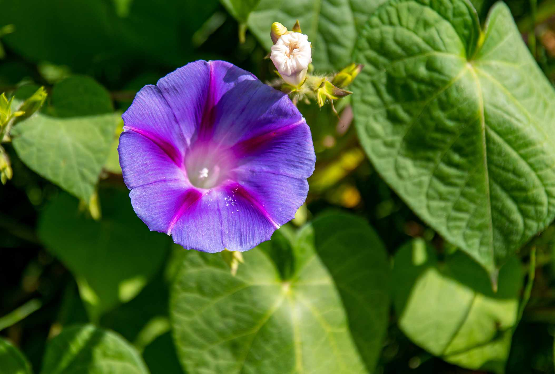 Close-up of a purple morning glory and green leaves
