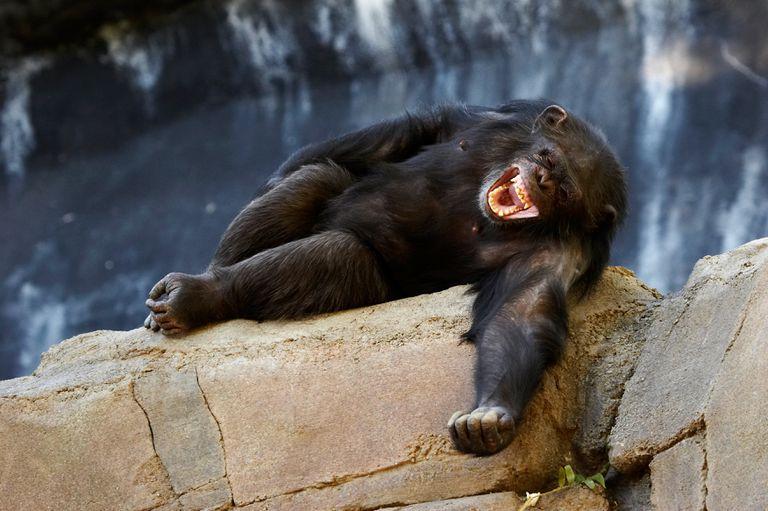 No es broma: no somos los únicos animales que ríen