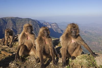 juvenile gelada monkeys sitting on a cliff in Ethiopia