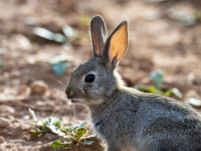 young European wild rabbit in a field (Species Oryctolagus cuniculus)