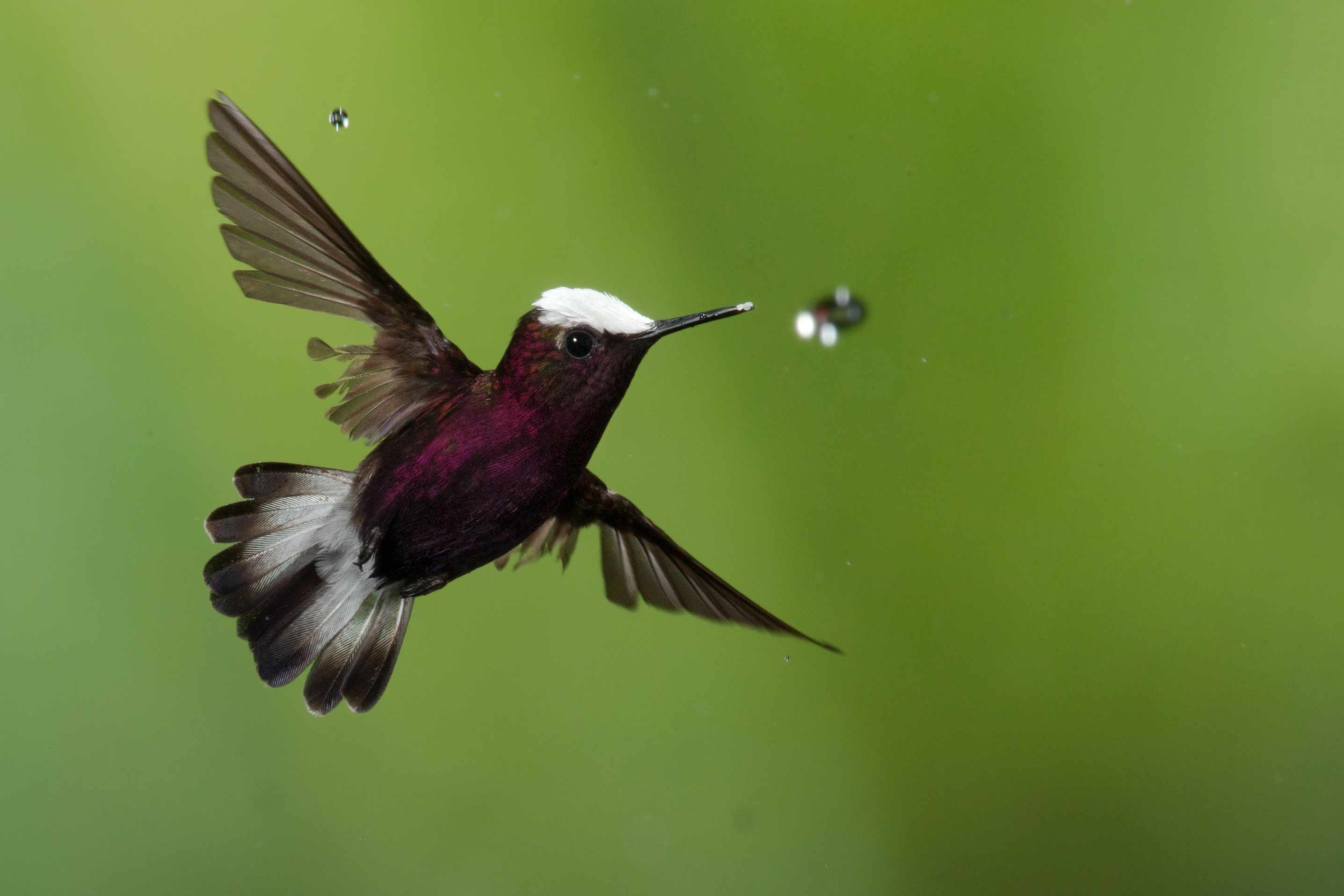 White-crowned hummingbird in flight caching a water drop
