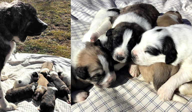 livestock guardian dog puppies