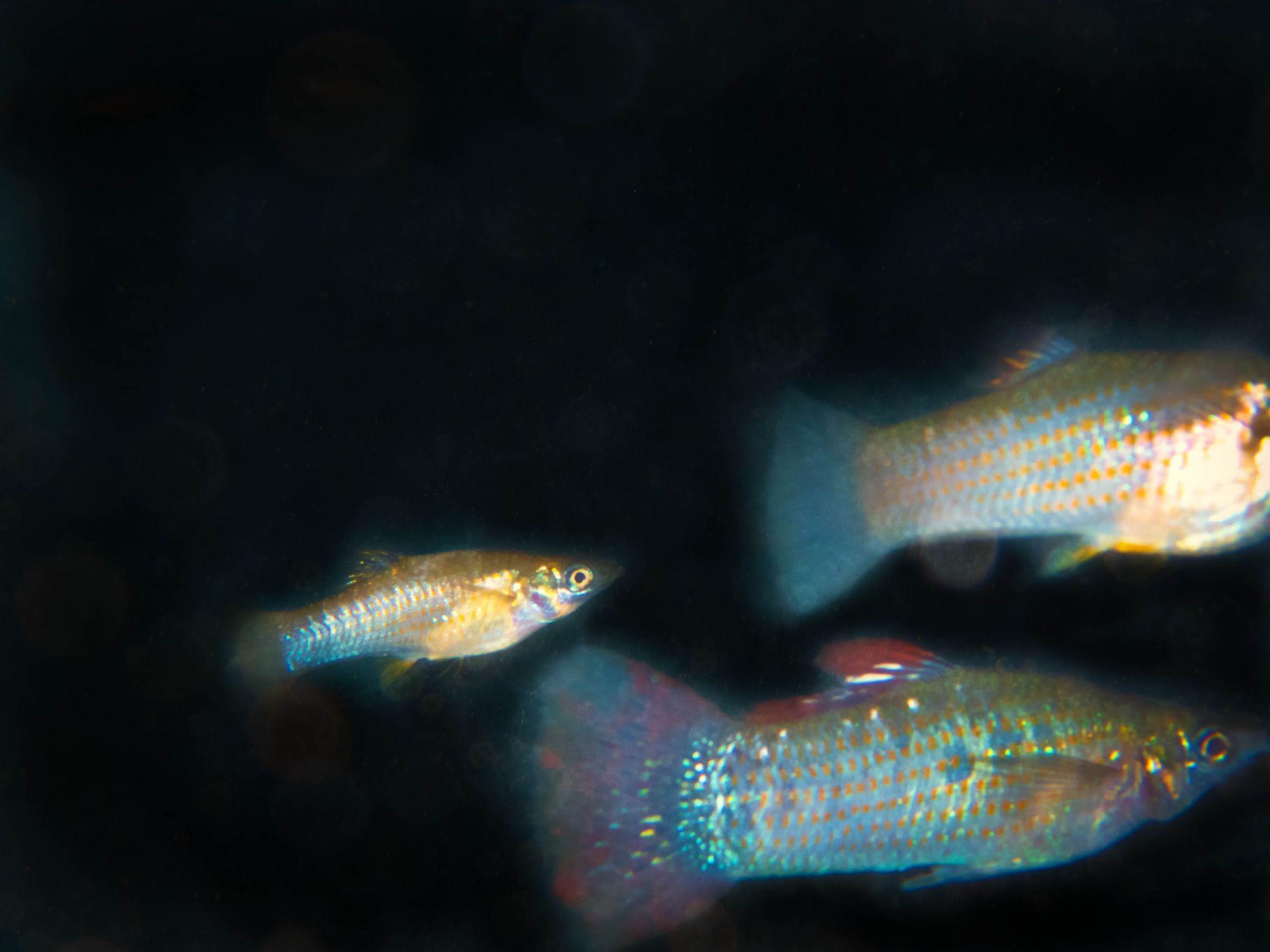 Molly fish in a cenote in Mexico
