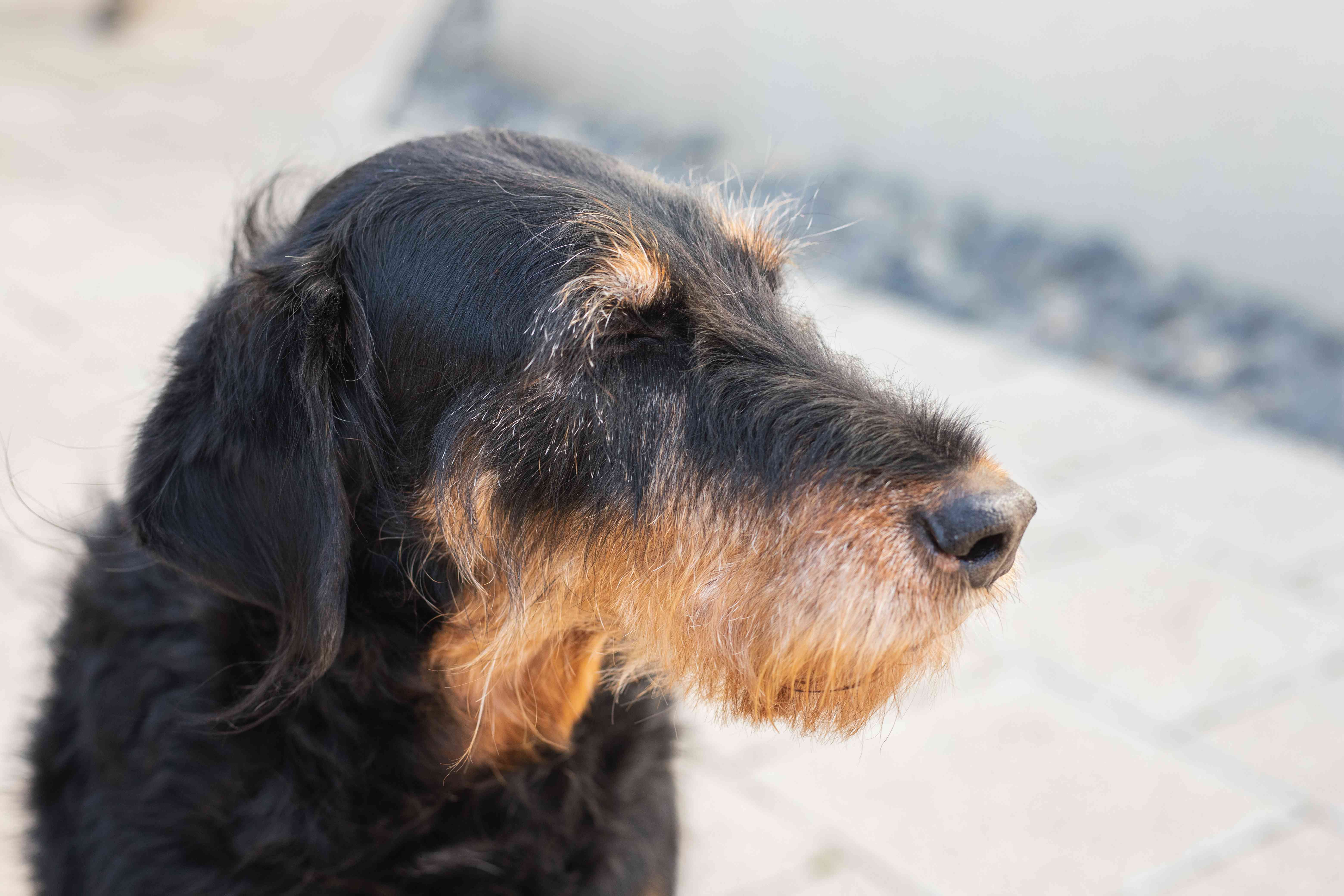 scruffy terrier dog with black and brown coat sideways profile outside