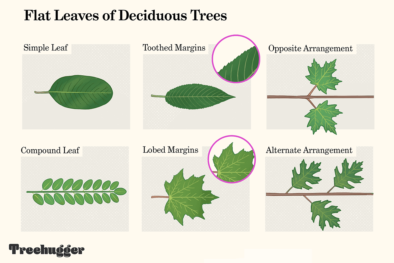 identifying flat leaves of deciduous trees illustration