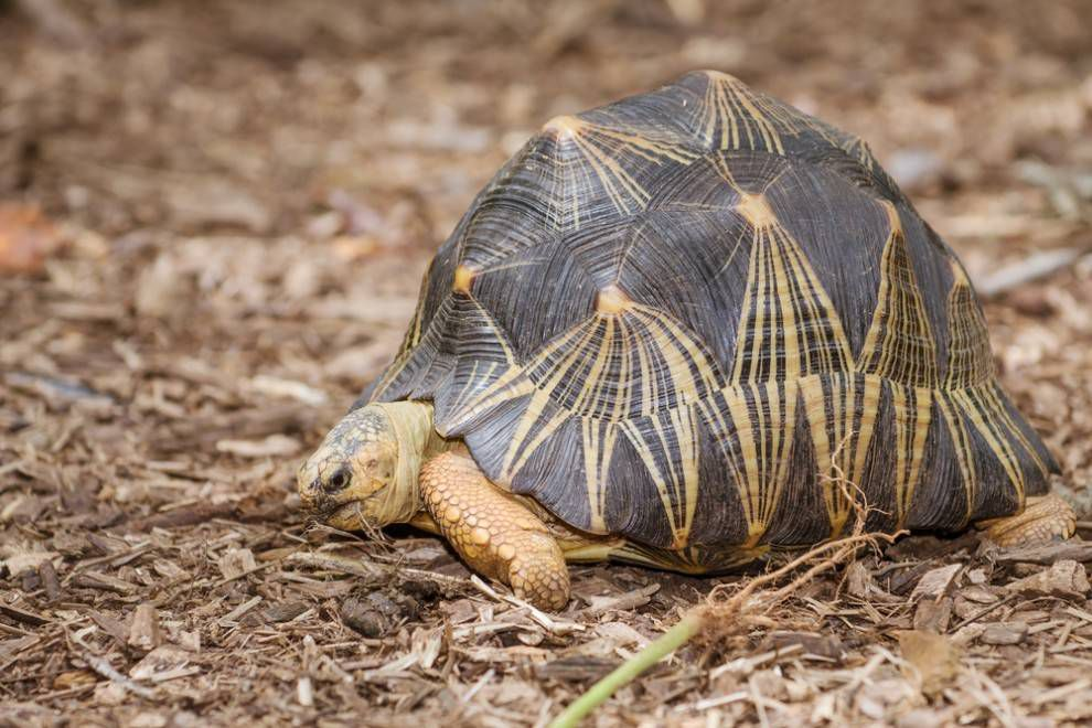 Radiated tortoise and its high-domed shell