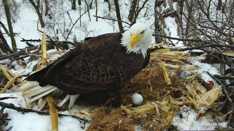 Decorah eagle stands watch over an egg in the nest