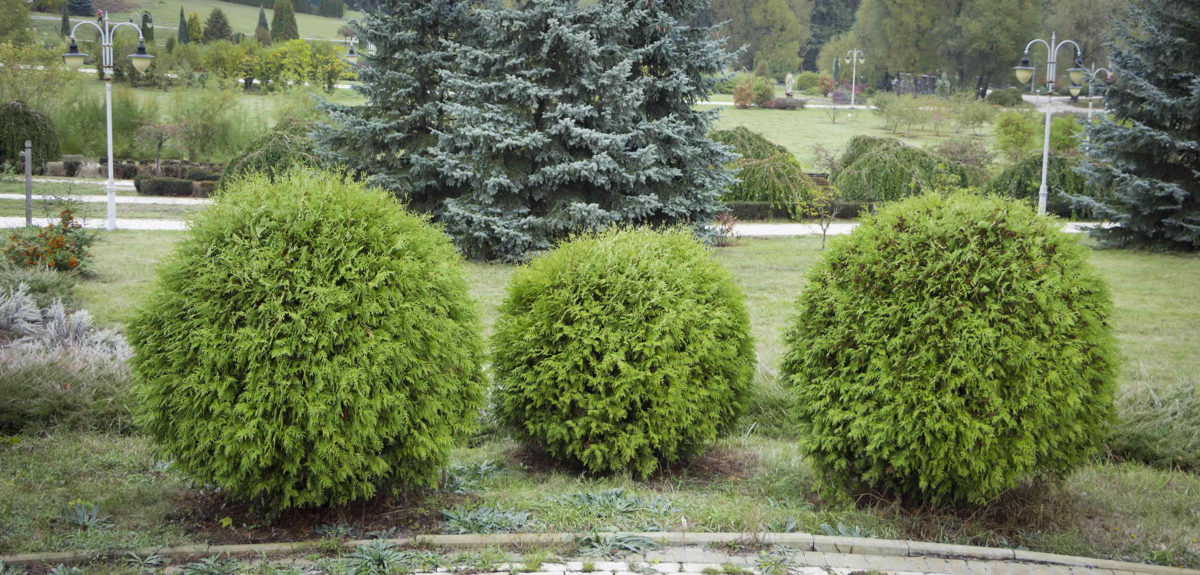 Thuja occidentalis Danica round shape Decorative garden