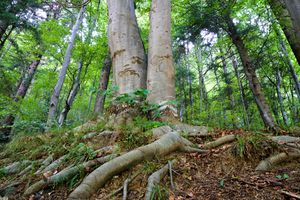 two mature trees grow together in forest with thick exposed roots